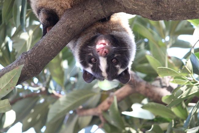 枝から顔を見せるハクビシン