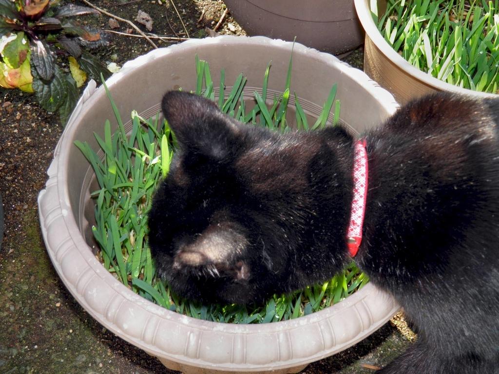 ネコクサまたはネコグサ 猫草 ネコ草