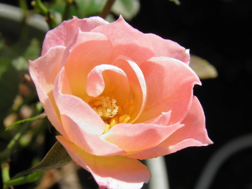 ミニバラ ピンク 原種に近い