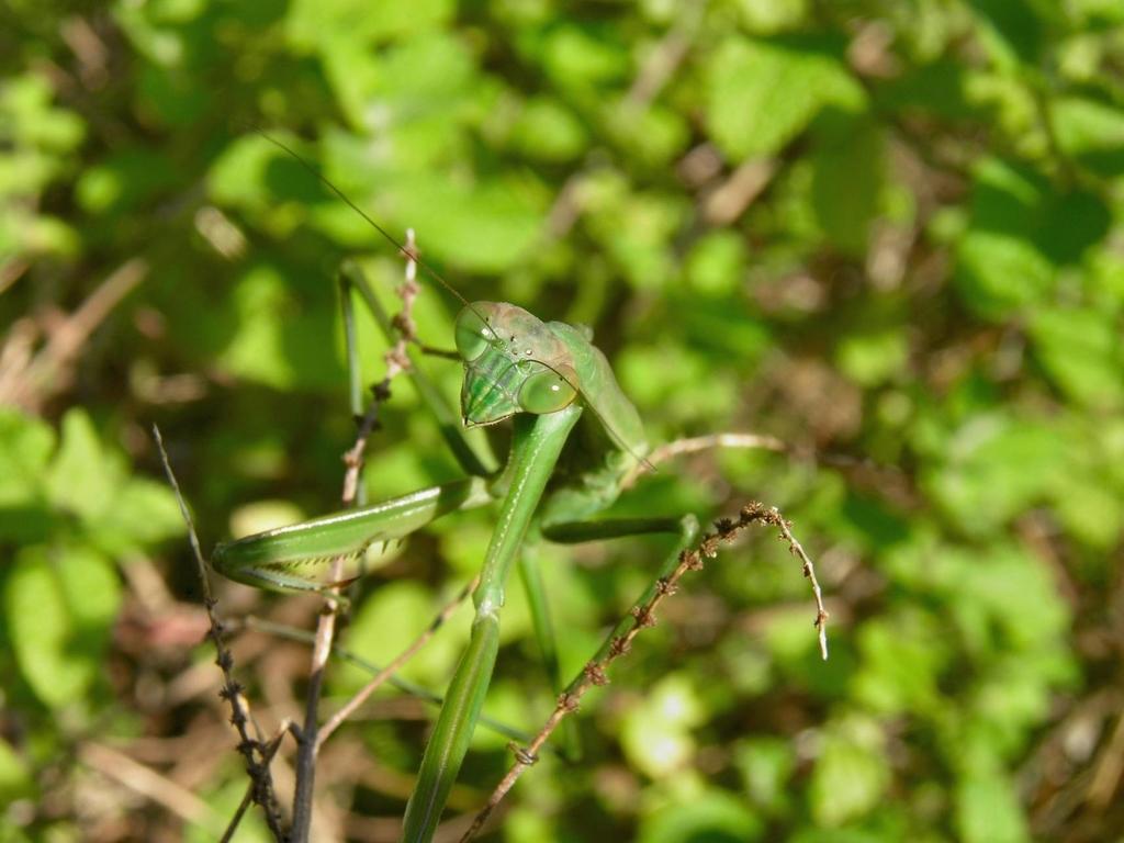 カマキリは英語でマンティス  Praying mantis