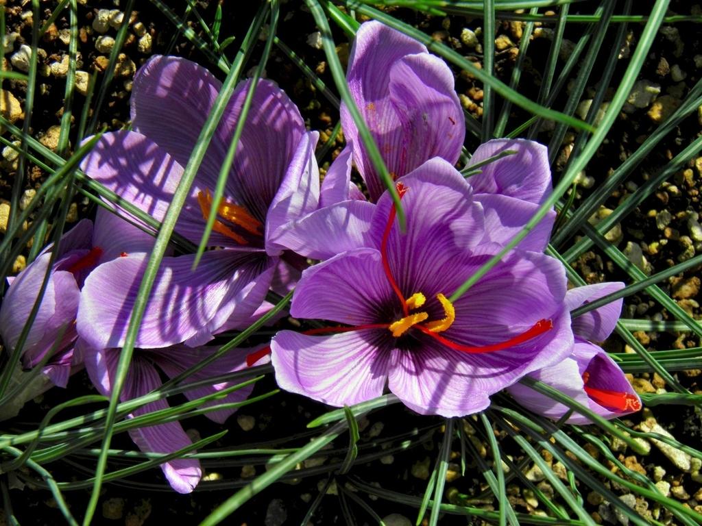 saffron おしべ めしべ