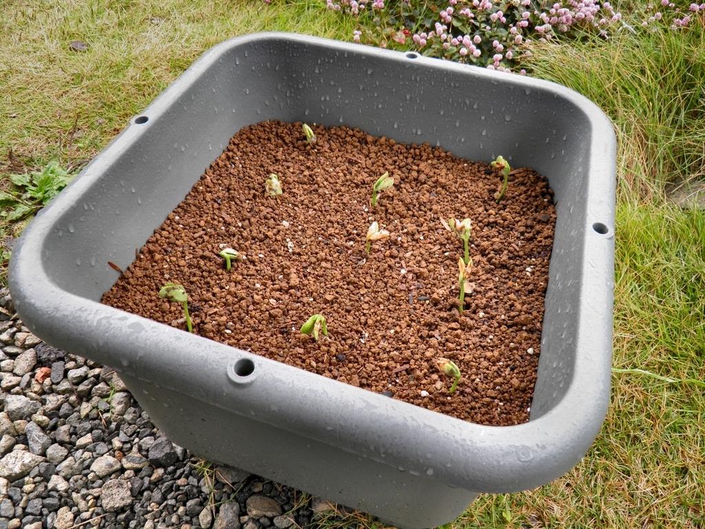 ツタンカーメンのエンドウ豆