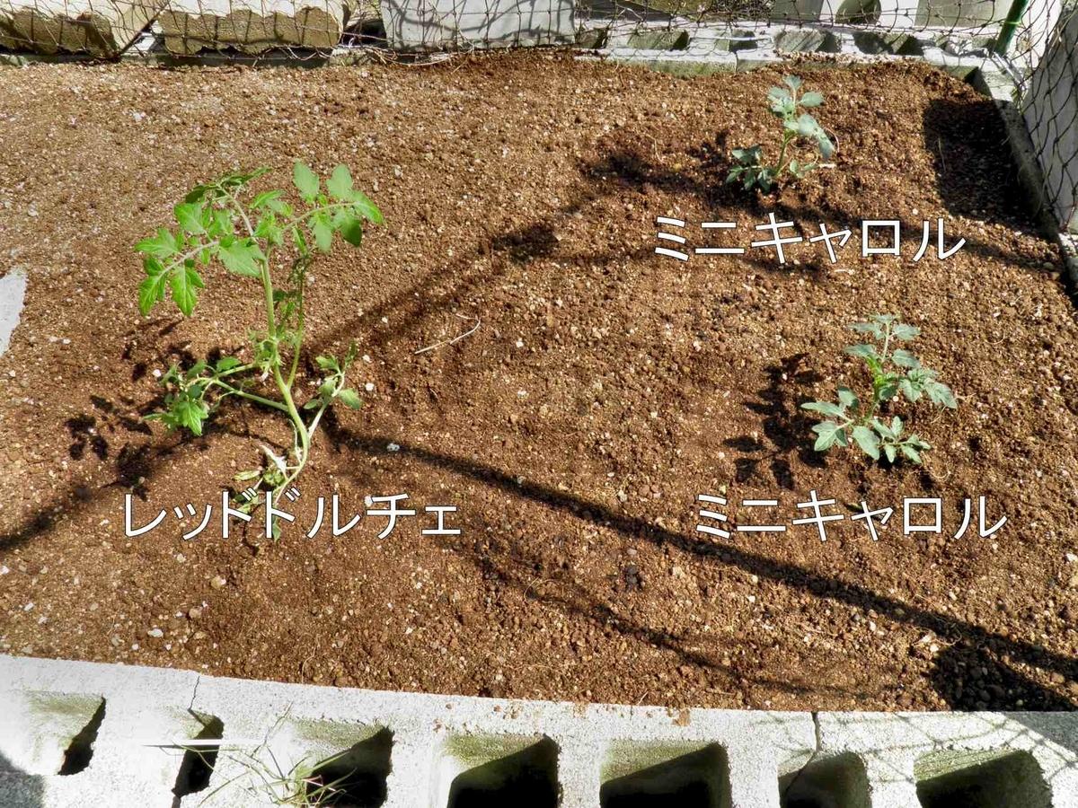 ミニトマトの定植したばかりの苗