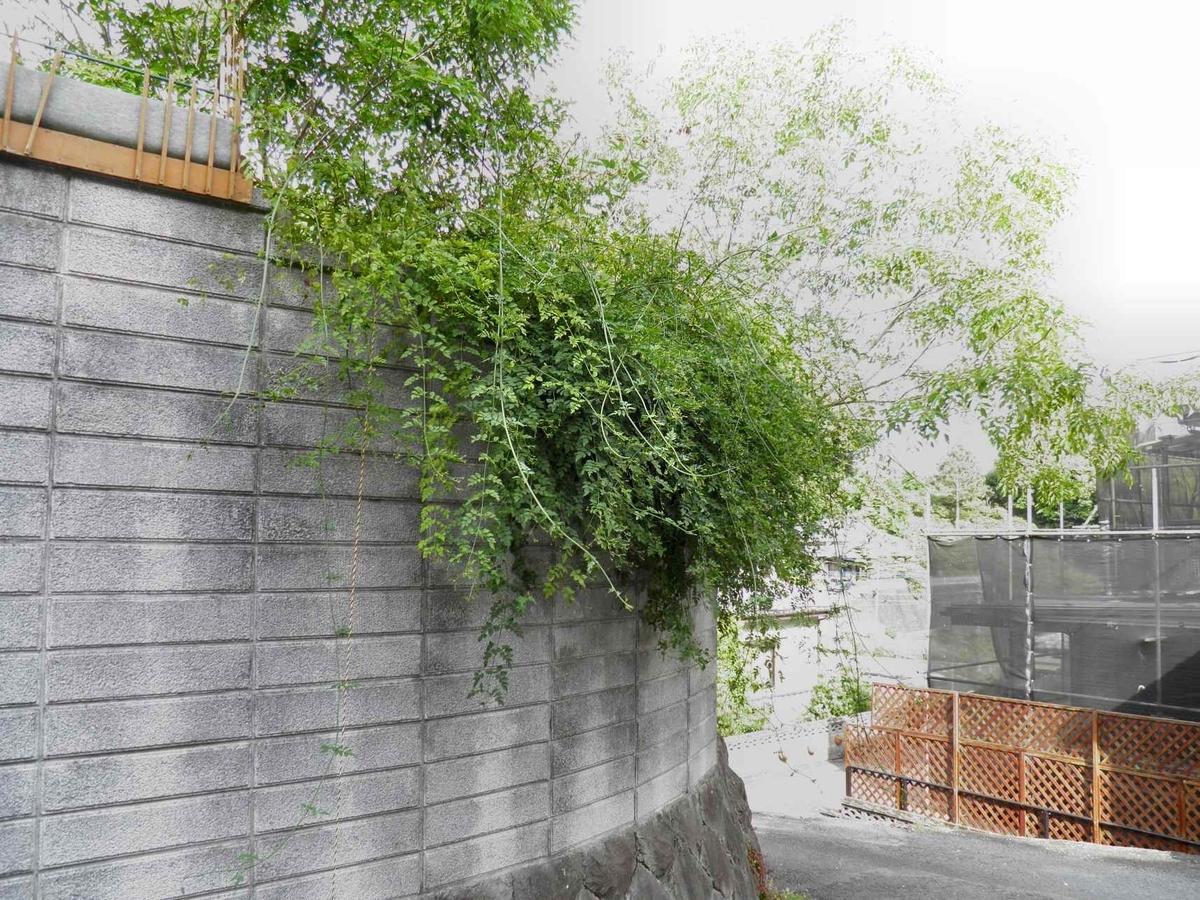 ブロック塀を大きく乗り越えたジャスミンの枝の拡大写真