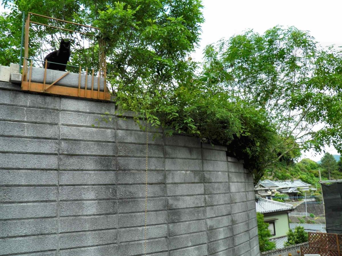 剪定したジャスミンのそばの塀の上に佇むクロネコ祐希