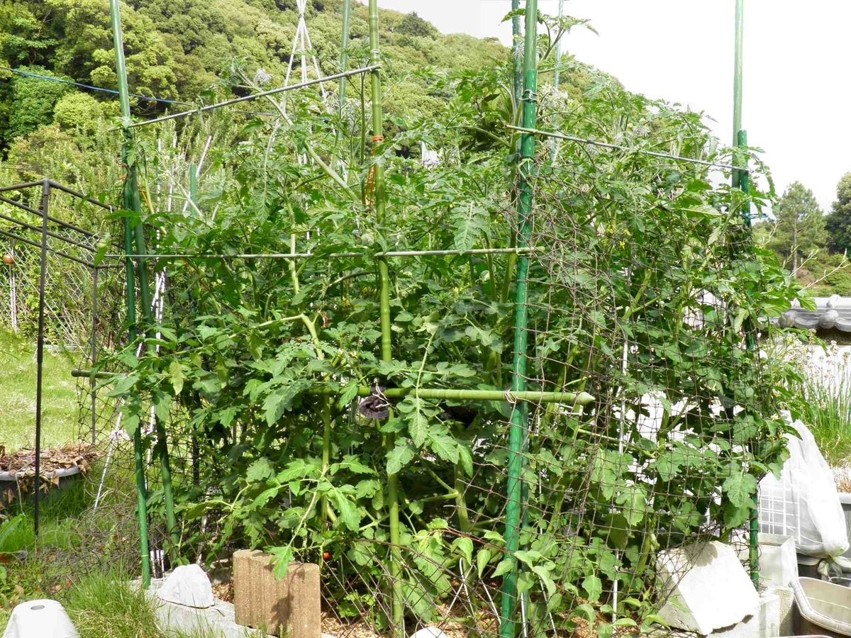大きく育ったミニトマトの苗の写真