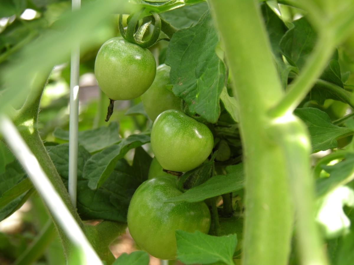 ミニトマトの若くて青い実の写真