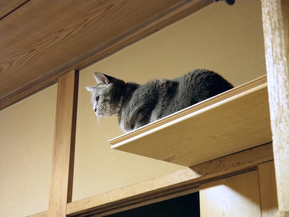 きじ猫アンジェロがキャットタワー最上段で見下ろす写真