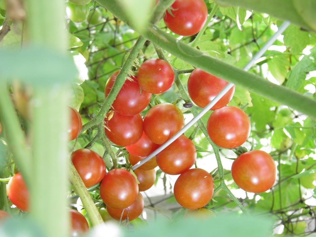 熟したミニトマトの画像
