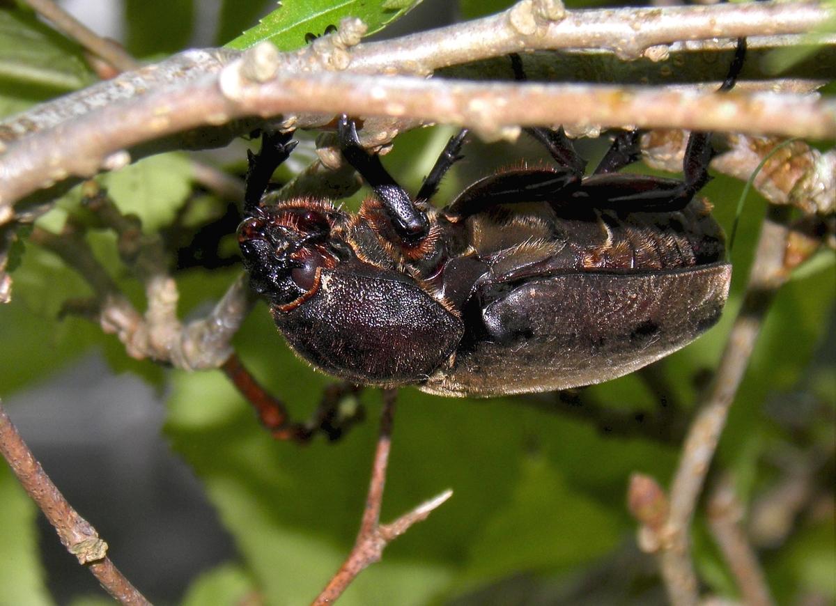 メスのカブトムシの写真
