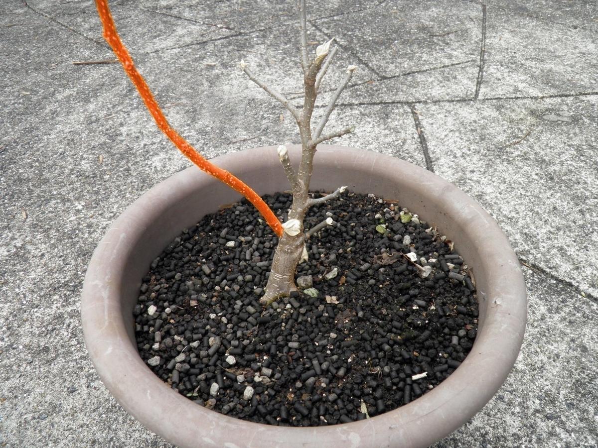 鉢植えの桑の木 残す枝