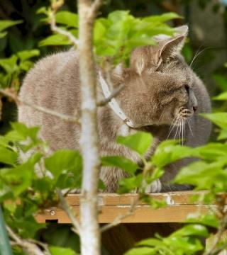 キジ猫アンジェロの写真