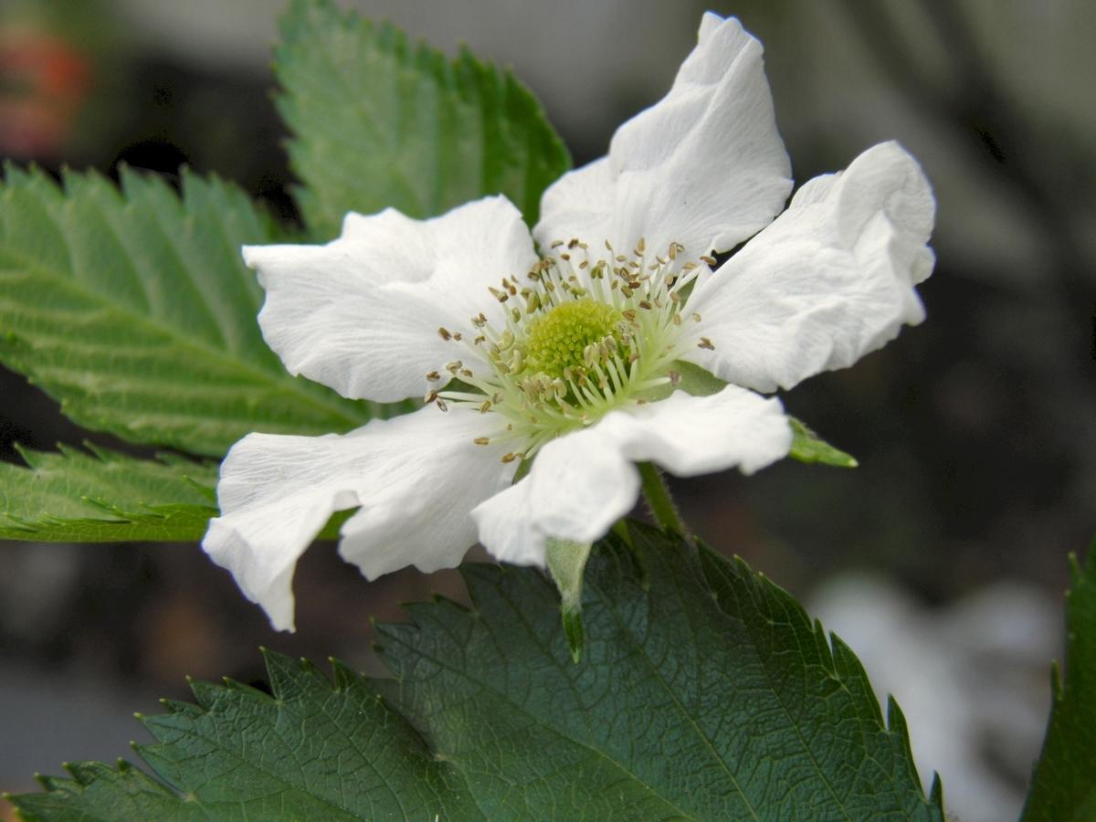 カジイチゴの花 木苺の花