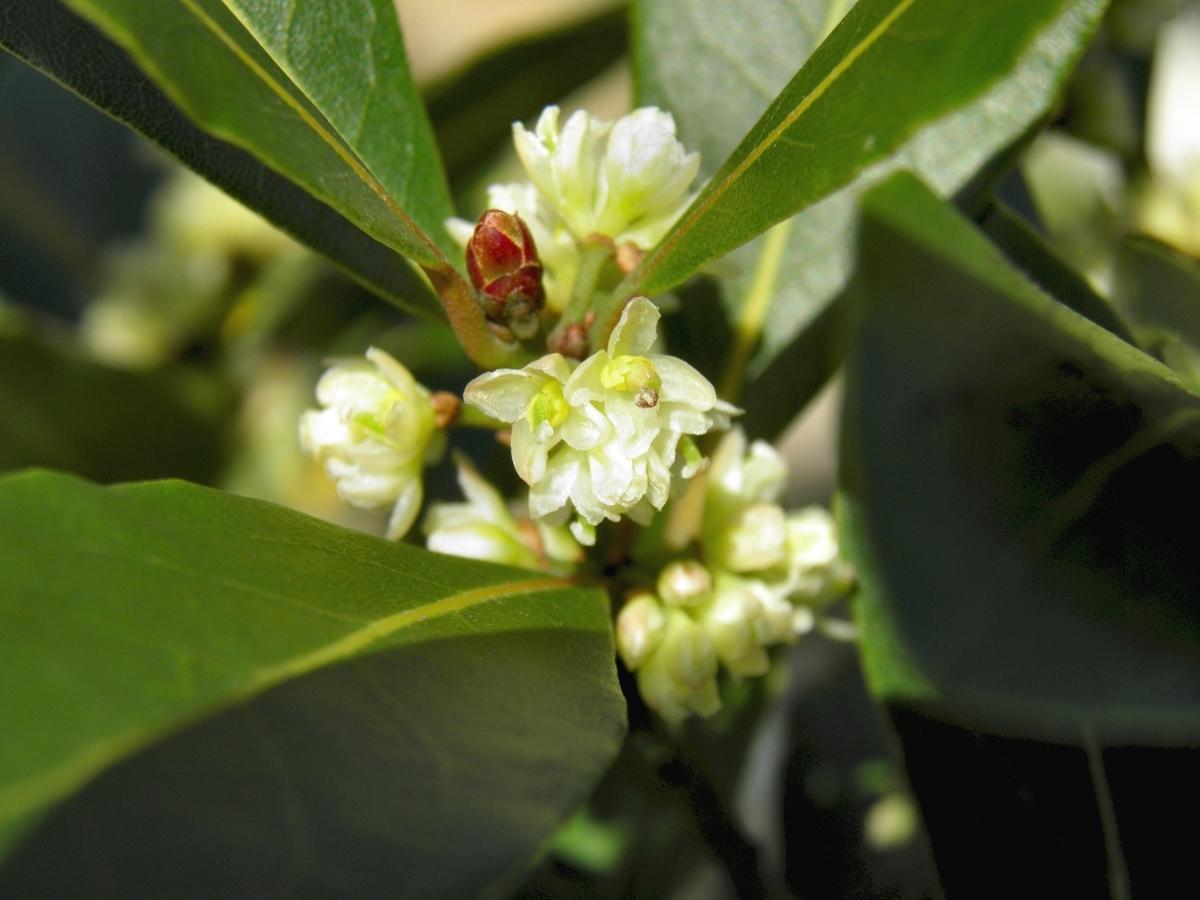 ローリエの花 月桂樹の花