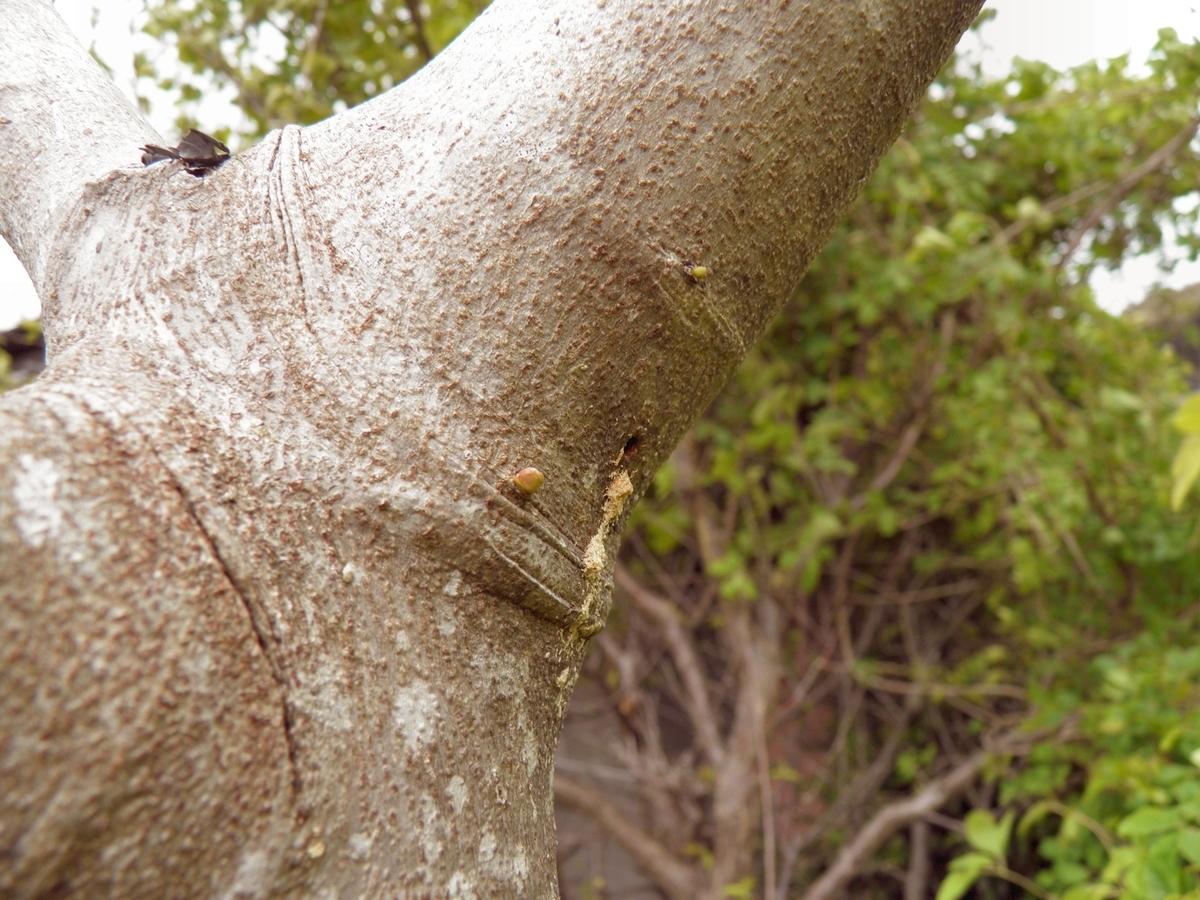 テッポウムシ カミキリムシの幼虫