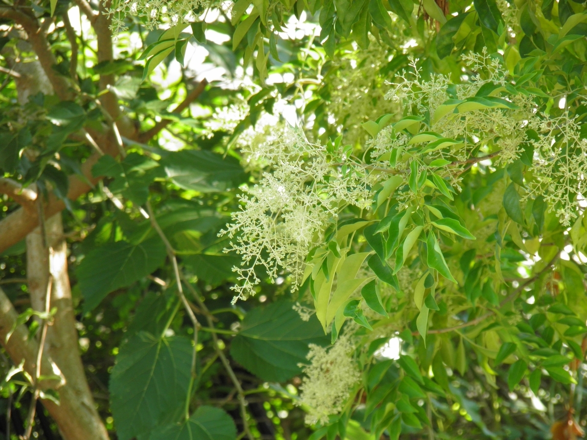 シマトネリコの花