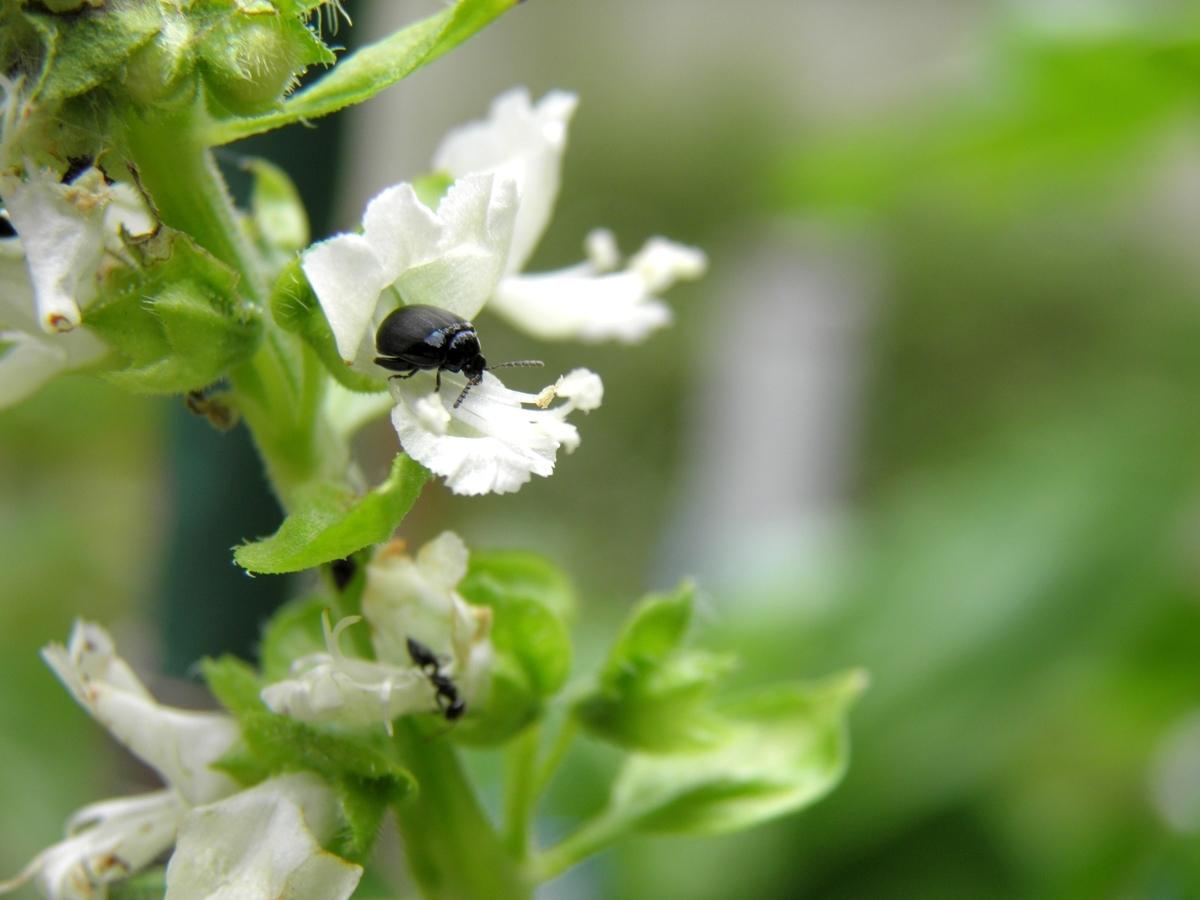 バジルにいる甲虫