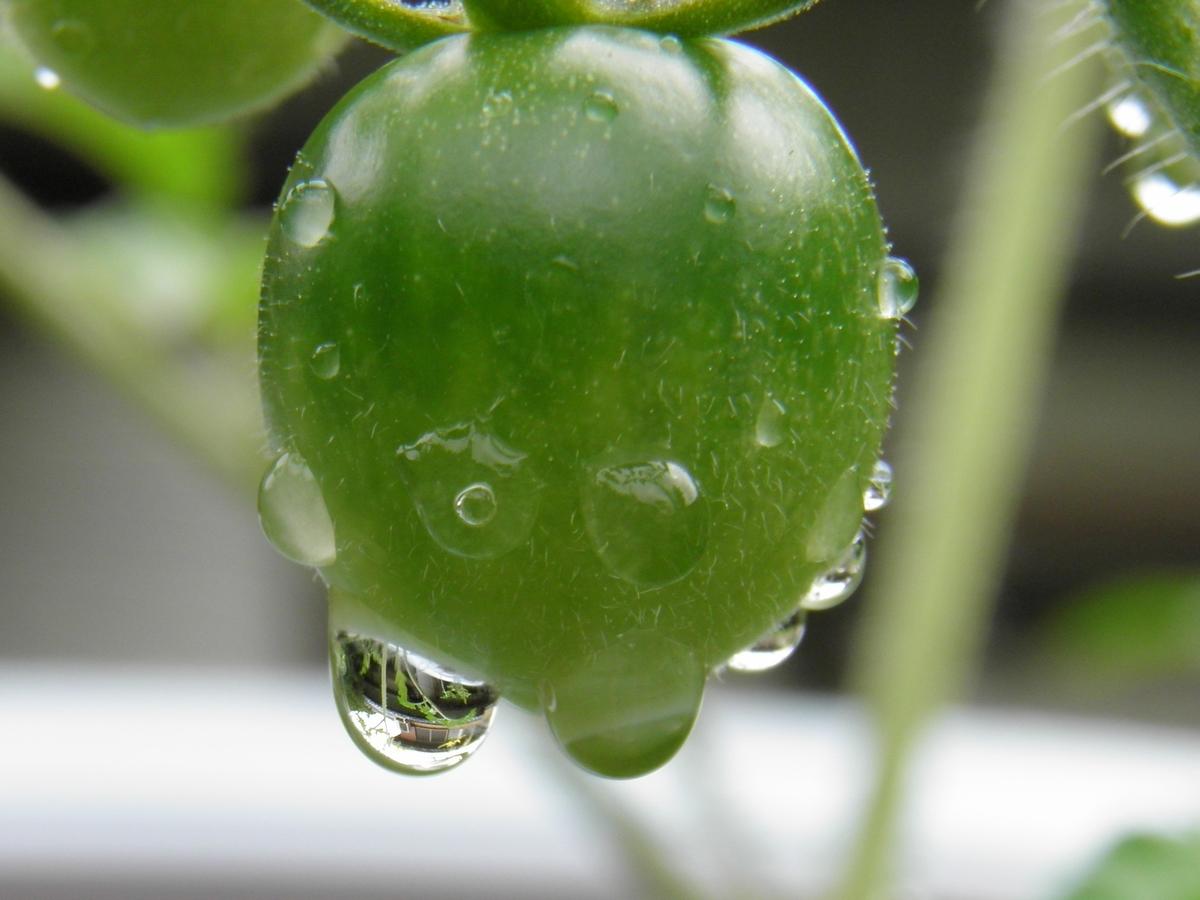 雨のミニトマトの実の写真