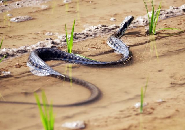 毒蛇ヤマカガシの写真