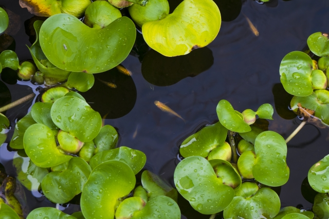 池のメダカの写真