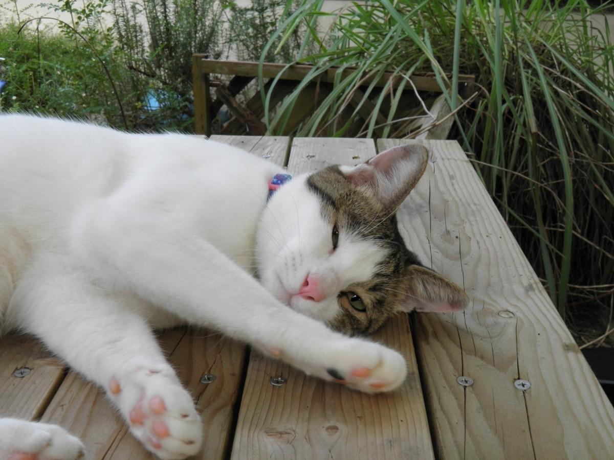 薄目で寝そべるハチワレ猫かなた坊ちゃん