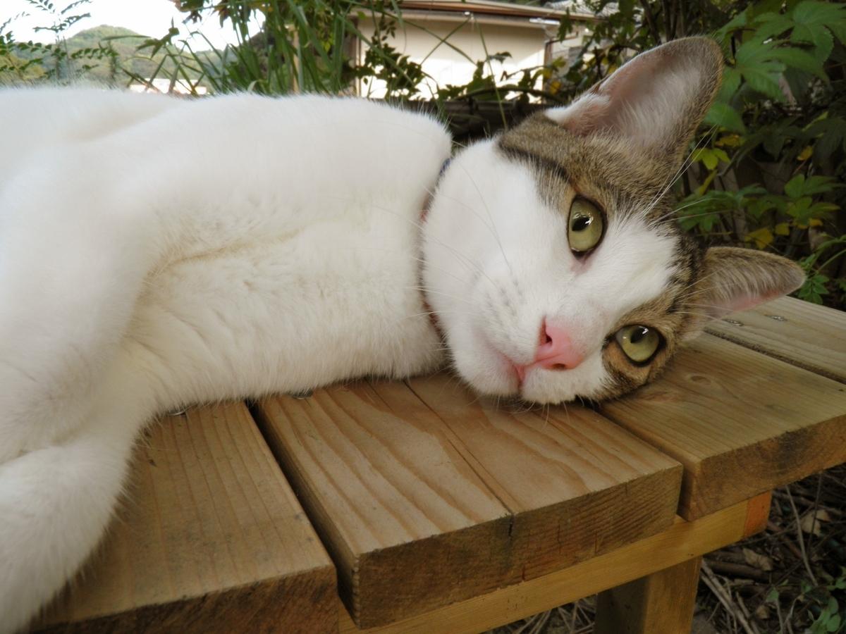 ハチワレ猫かなたの写真