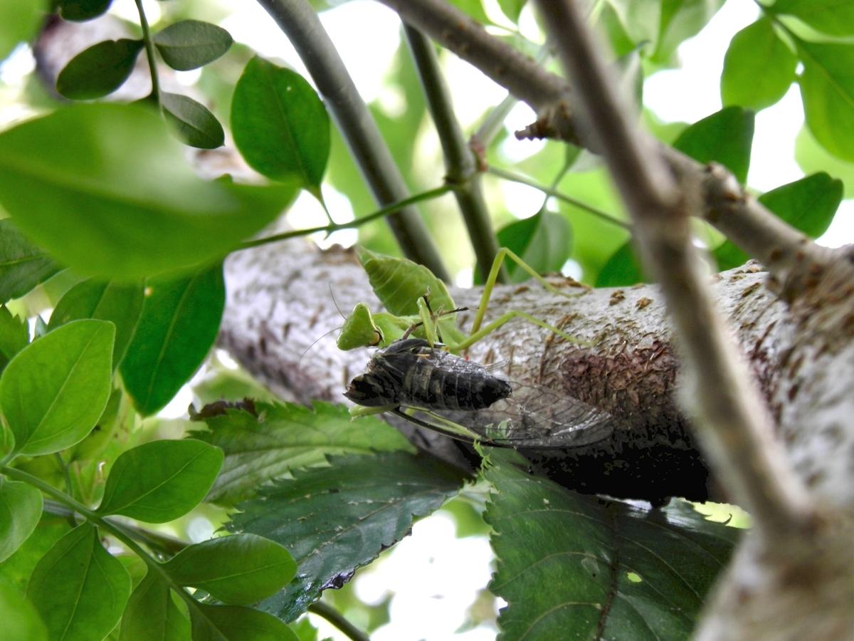 セミを食べるカマキリの写真