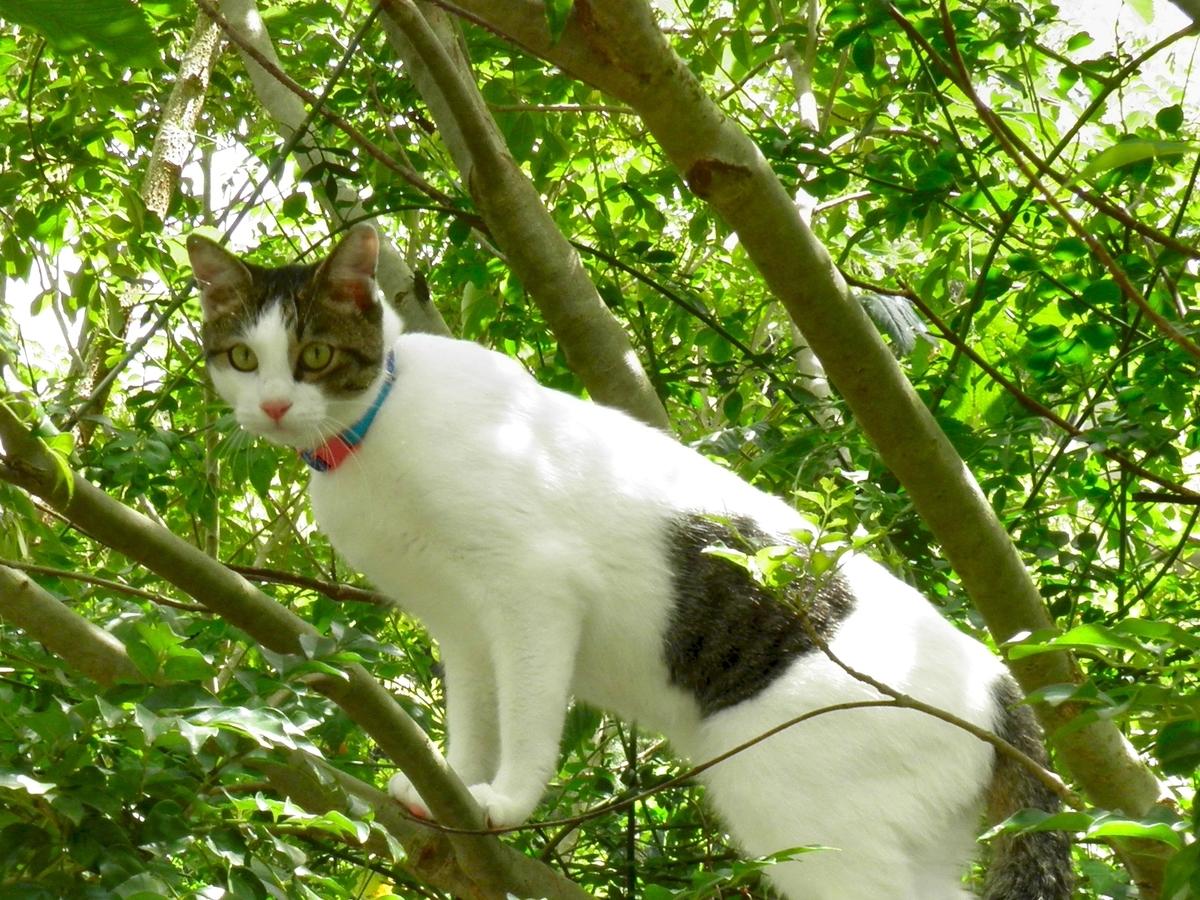 木に登る猫の写真。名前はかなた。