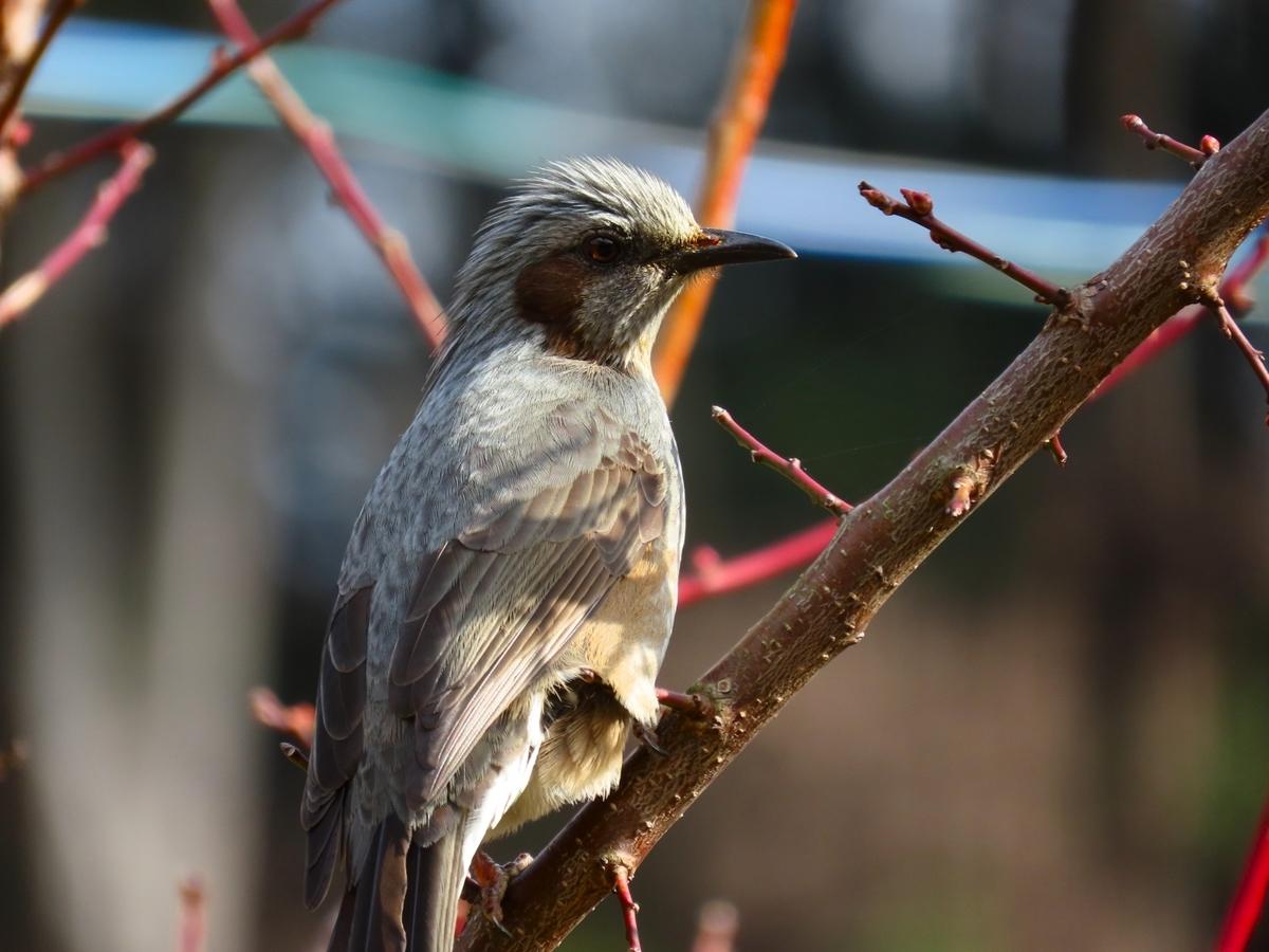 野鳥のヒヨドリ