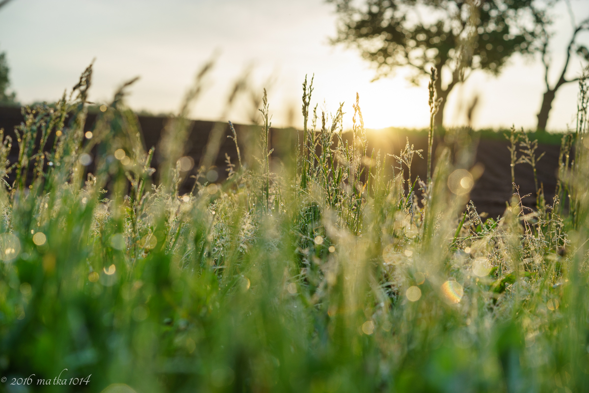 朝露と草とさくらんぼの木 ニセコ