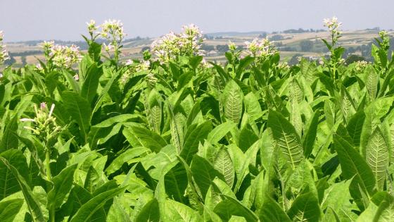 たばこ農家