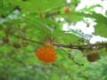 ナガバモミジイチゴ