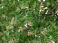 ハナゾノツクバネウツギ