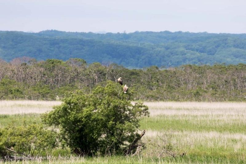 2羽のオジロワシ