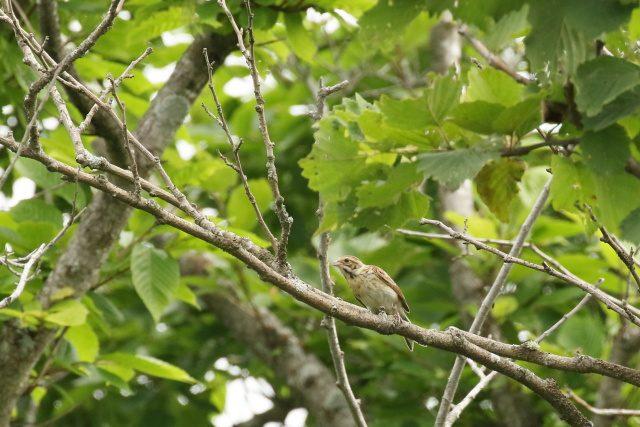 オオジュリン幼鳥