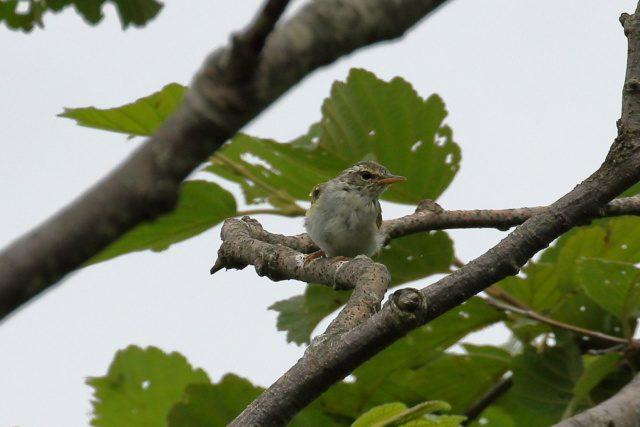 センダイムシクイの幼鳥