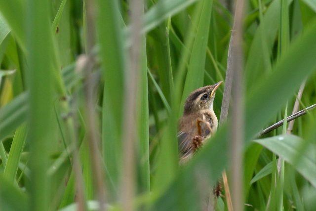 コヨシキリ幼鳥