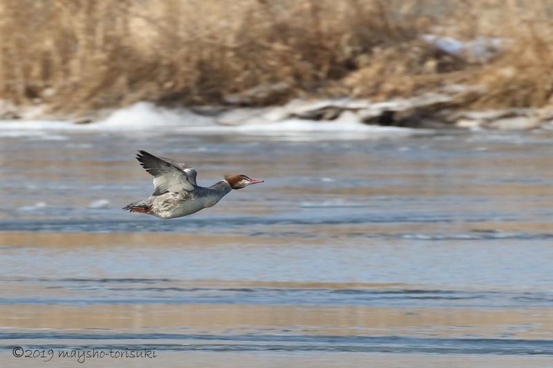 カワアイサ 雌の飛行
