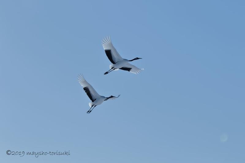 飛ぶ2羽のタンチョウ