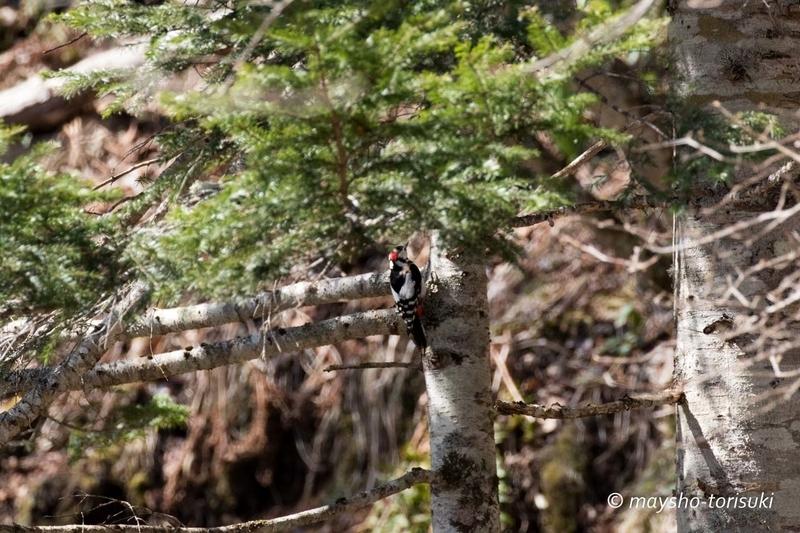 コツコツ木を叩くアカゲラ