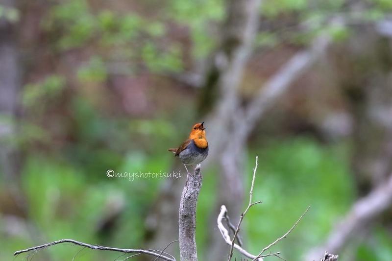 木の上で囀るコマドリ
