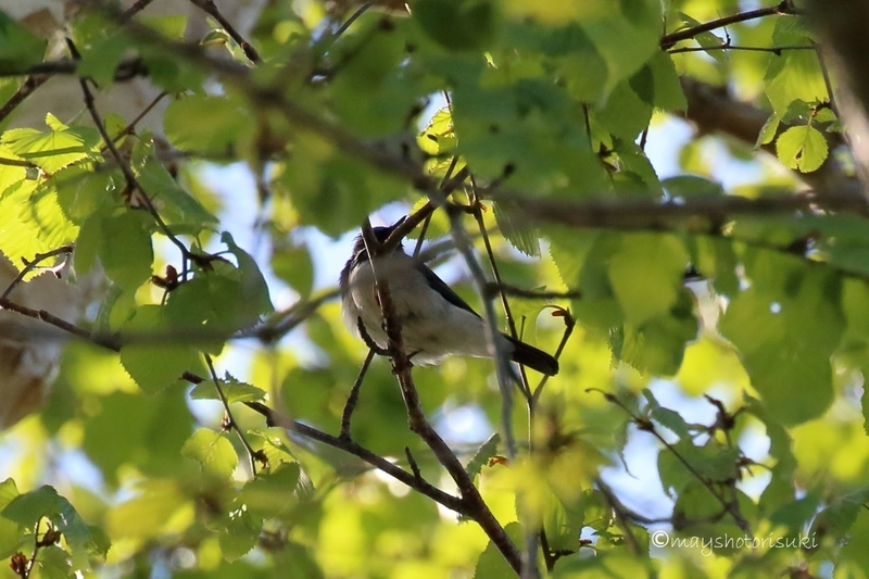 樹上で囀るコルリ