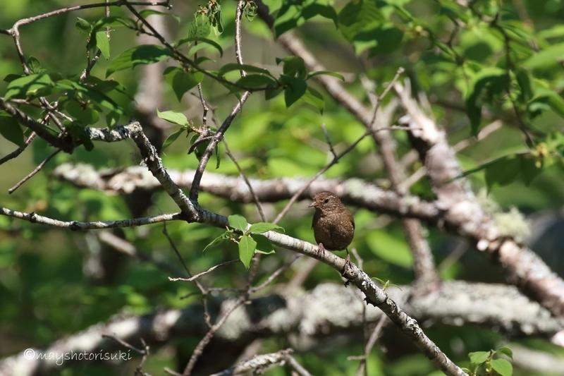 枝のうえで黙っているミソサザイ