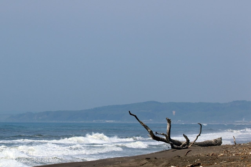 大きな木が流れ着いていた大楽毛海岸