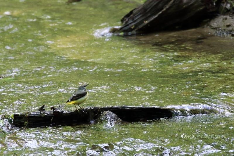 小川の流木で休むキセキレイ