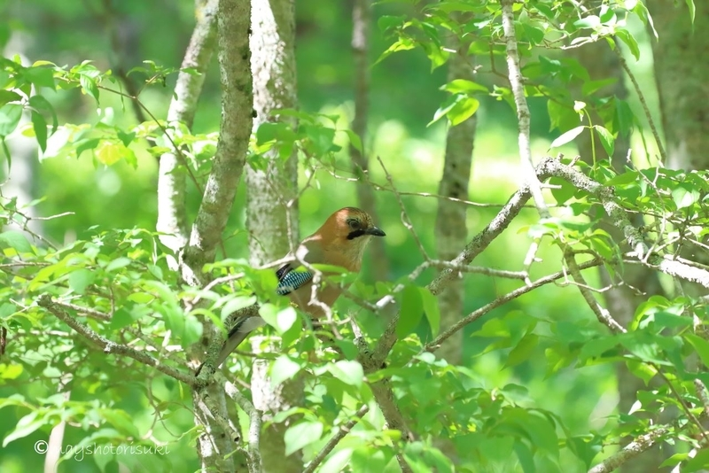 木陰で休むミヤマカケス