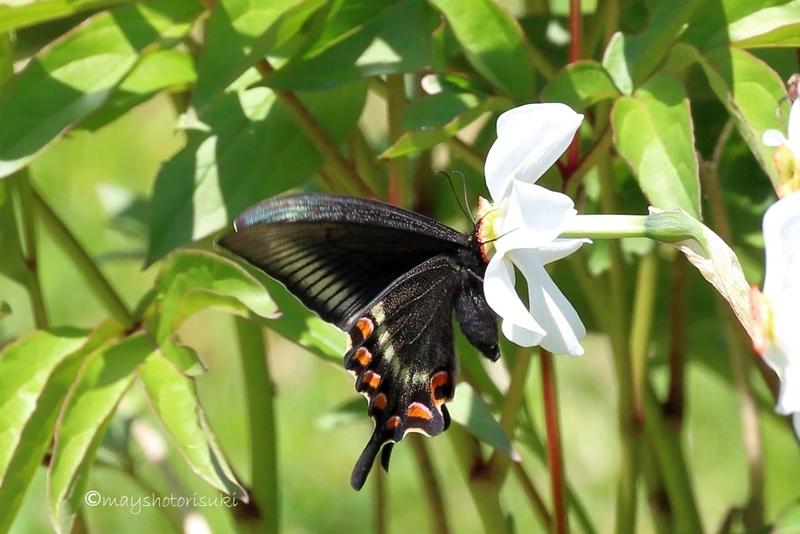 蜜を吸うミヤマカラスアゲハ