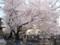 0405桜満開