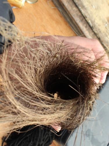 産卵床のシュロの皮