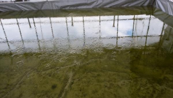 水深の浅いメダカ飼育池